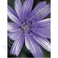 Chicory Bachblüten für Tiere