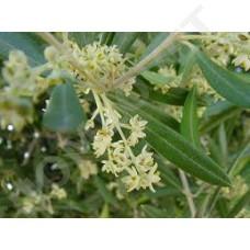 Olive Bachblüten für Tiere